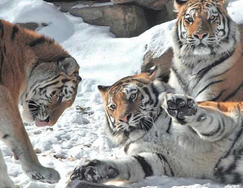 tiger moms the ugly volvo adult children