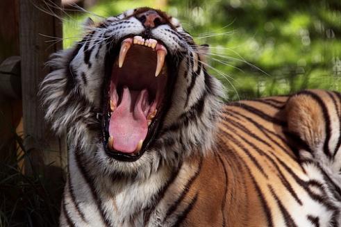 tiger moms the ugly volvo karaoke